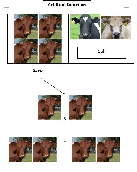 Selective Breeding Examples